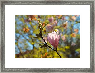 Smaller Magnolia In Springtime Framed Print by Tina M Wenger