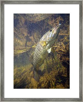Smallmouth Against Weeds Framed Print by Ron Kruger