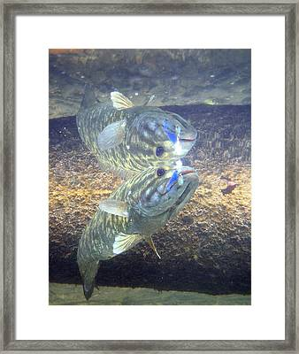 Smallmouth Reflections Framed Print by Ron Kruger