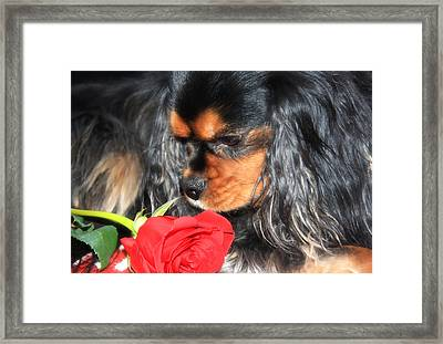 Smelling The Red Rose Framed Print by Daphne Sampson