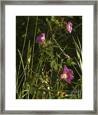 Smelling The Wild Royal Roses Framed Print by Daniel Hebard