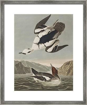 Smew Or White Nun Framed Print by John James Audubon
