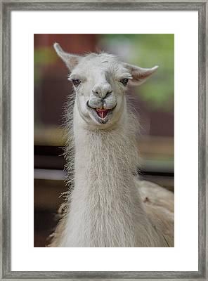 Smiling Alpaca Framed Print