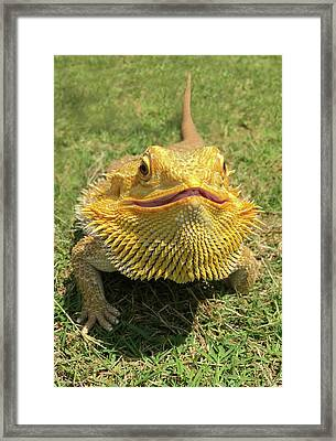 Smiling Bearded Dragon  Framed Print by Susan Leggett