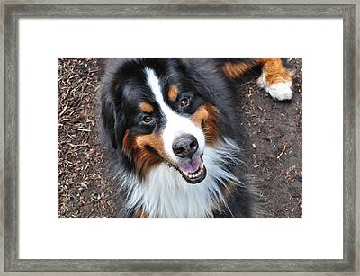 Smiling Bernese Mountain Dog Framed Print