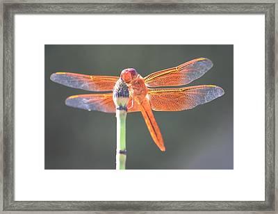 Smiling Dragonfly Framed Print by Melanie Beasley