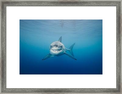 Smiling Great White Shark Framed Print by Dave Fleetham - Printscapes