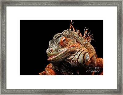 smiling Orange iguana isolated on black  Framed Print
