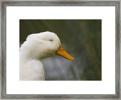 Smiling Pekin Duck Framed Print by Tara Lynn
