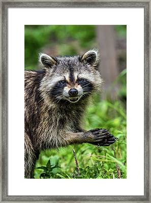 Smiling Raccoon Framed Print