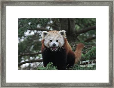 Smiling Red Panda #2 Framed Print