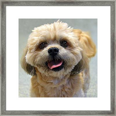 Smiling Shih Tzu Dog Framed Print by Catherine Sherman