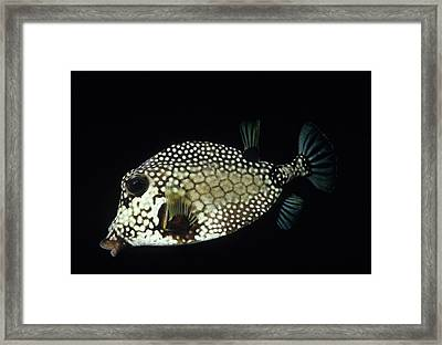 Smiling Smooth Trunkfish Framed Print by Don Kreuter