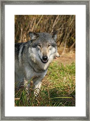 Smiling Wolf Framed Print