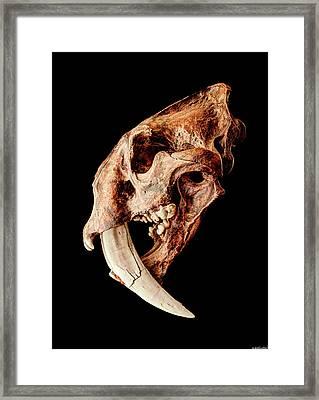 Smilodon Fatalis Skull 3 Framed Print