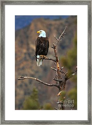 Smith Rock Bald Eagle Framed Print by Adam Jewell