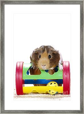 Smooth-coated Guinea Pig Framed Print by Carolyn A McKeone