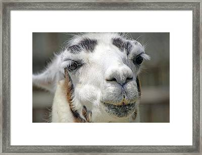 Smug Llama Framed Print