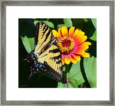 Snacking Tiger Swallowtail Butterfly Framed Print