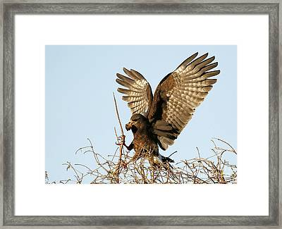 Snail Kite Coming In Framed Print