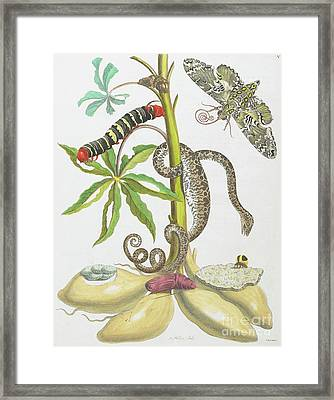 Snake, Caterpillar, Butterfly, And Insects On Plant Framed Print by Maria Sibylla Graff Merian