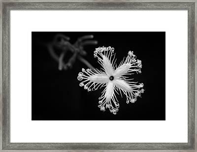 Snake Gourd Flower Framed Print