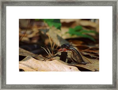 Snake With Meal 2 Framed Print by Aaron Rushin