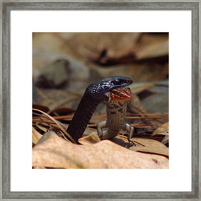 Snake With Meal Framed Print by Aaron Rushin