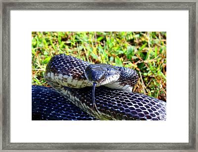 Snakey Lick Framed Print