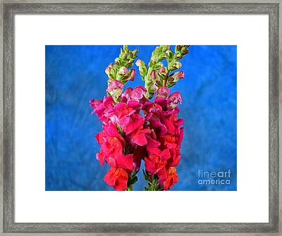 Snapdragon Flower Beauty Framed Print by Ray Shrewsberry