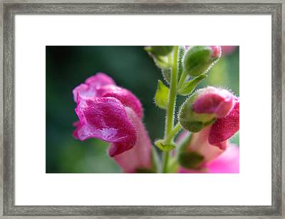Snapdragon Hairs Framed Print