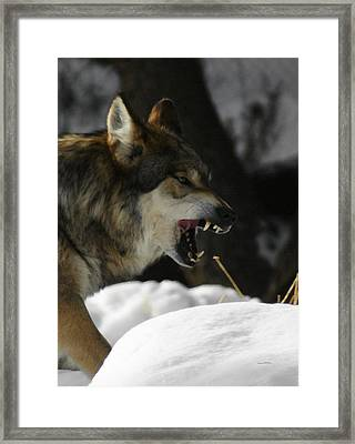 Snarling Wolf Framed Print