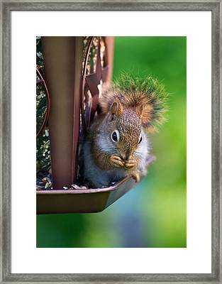 Sneaky Red Squirrel Framed Print by Edward Myers