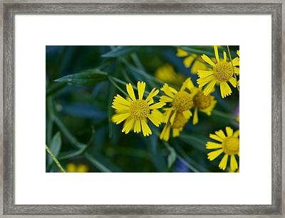 Sneezeweed Framed Print by Jack R Perry
