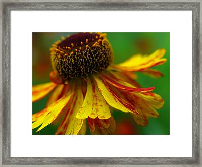 Sneezeweed Framed Print by Juergen Roth