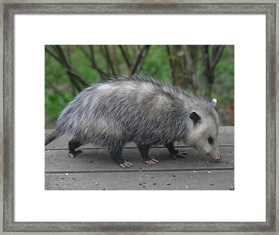 Sniffing Around Framed Print by Kym Backland