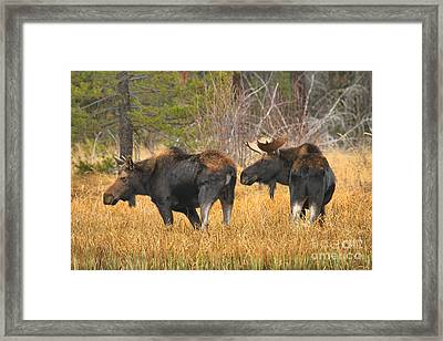 Sniffing The Cow Framed Print