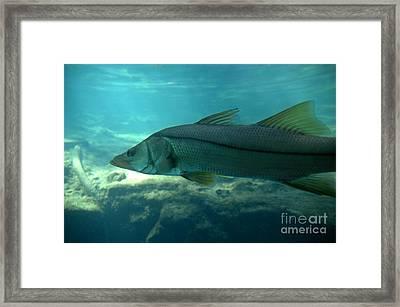 Snook Framed Print