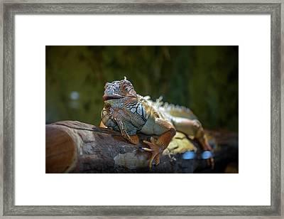 Snoozing Iguana Framed Print by Martina Thompson