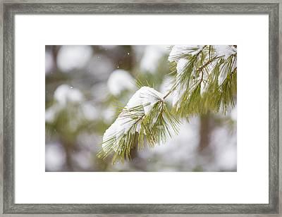Snow Bough Framed Print