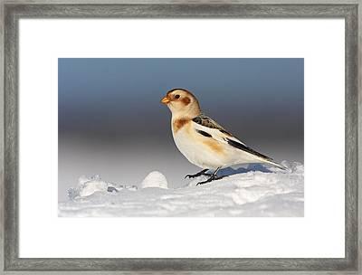 Snow Bunting (plectrophenax Nivalis) Framed Print