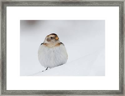 Framed Print featuring the photograph Snow Bunting - Scottish Highlands by Karen Van Der Zijden