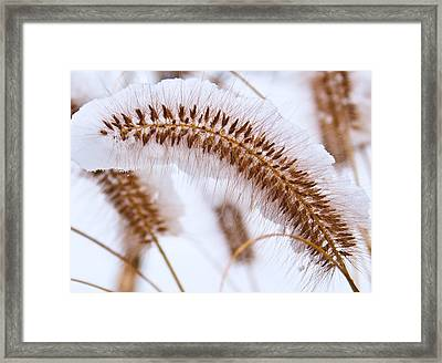 Snow Capped Foxtail Framed Print