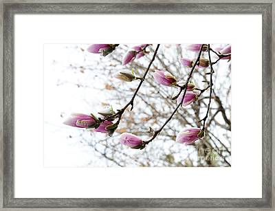 Snow Capped Magnolia Tree Blossoms 2 Framed Print by Andee Design