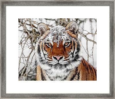 Snow Capped Siberian Framed Print