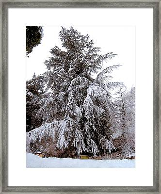 Snow Covered Evergreen Tree  Framed Print by Ruth  Housley