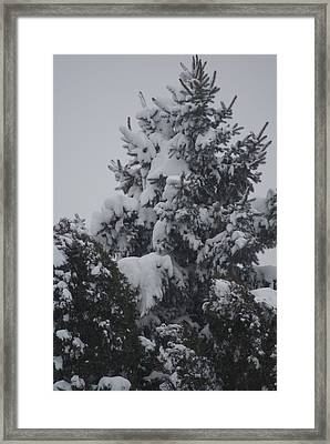 Snow Covered Pine Framed Print by Heather Green