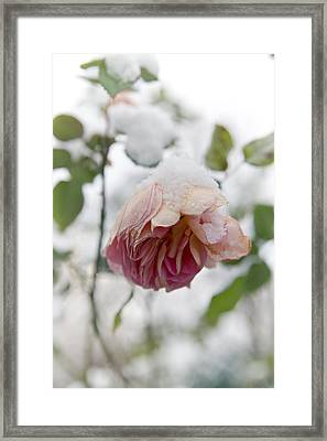 Snow-covered Rose Flower Framed Print by Frank Tschakert