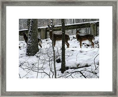 Snow Deer - Rock Creek Park Washington Dc Framed Print