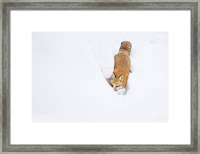 Framed Print featuring the photograph Snow-diving Fox  by Mircea Costina Photography